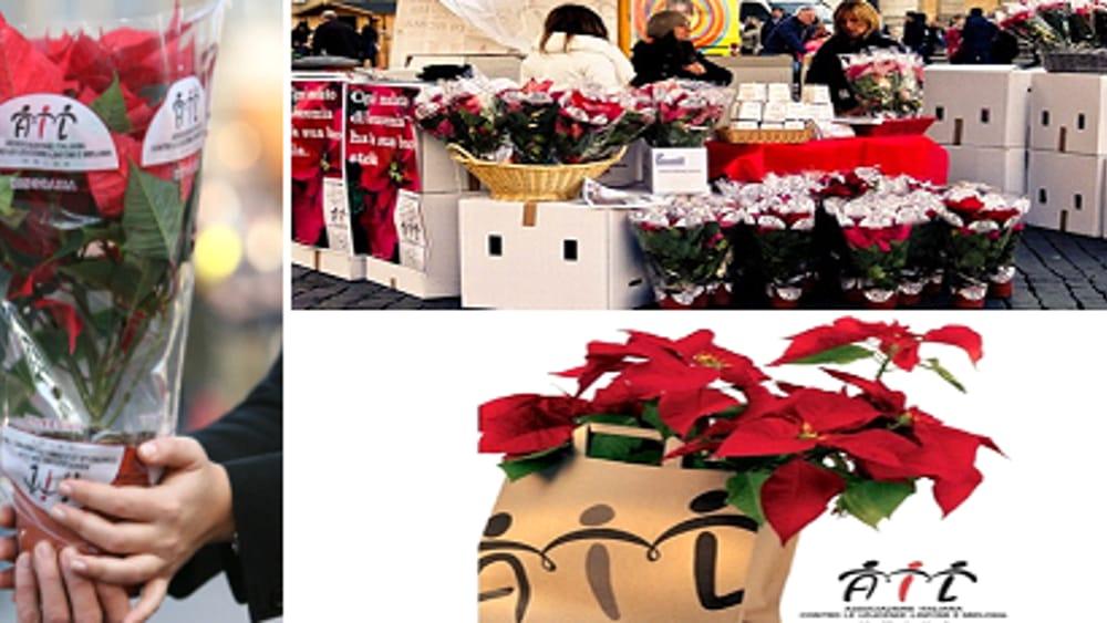 Airc Stella Di Natale 2020.Stelle Di Natale Ail A Vicenza E Provincia Tutti I Posti Dove Trovarle Eventi A Vicenza