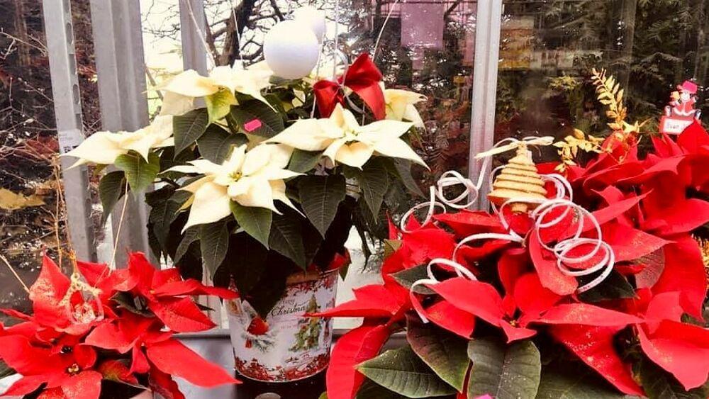 Cura Della Stella Di Natale.Stella Di Natale Origini E Come Farla Durare Piu A Lungo